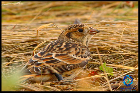 Lapland Bunting Spornammer on the grass