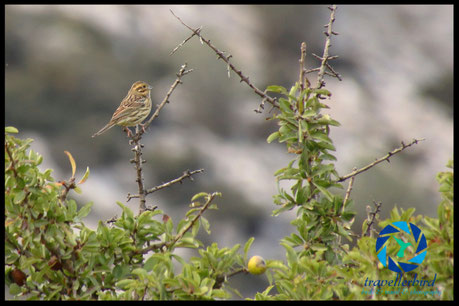 cirl bunting on a tree