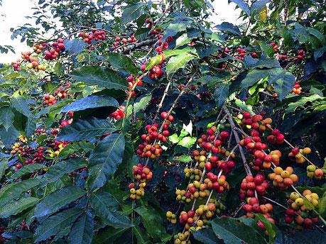 nurucoffee: Kaffeekirschen aus Äthiopien
