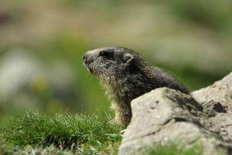 randonnée marmotte à briançon, serre chevalier, hautes alpes