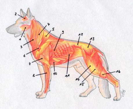 Abb. Muskeln eines Hundes