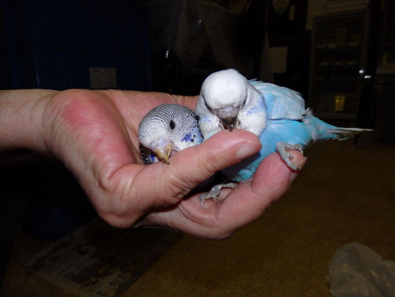 福岡県手乗りインコ小鳥販売店ペットショップミッキン ジャンボセキセイインコとジャンボセキセイインコのヒナの大きさ比較をしてみました。