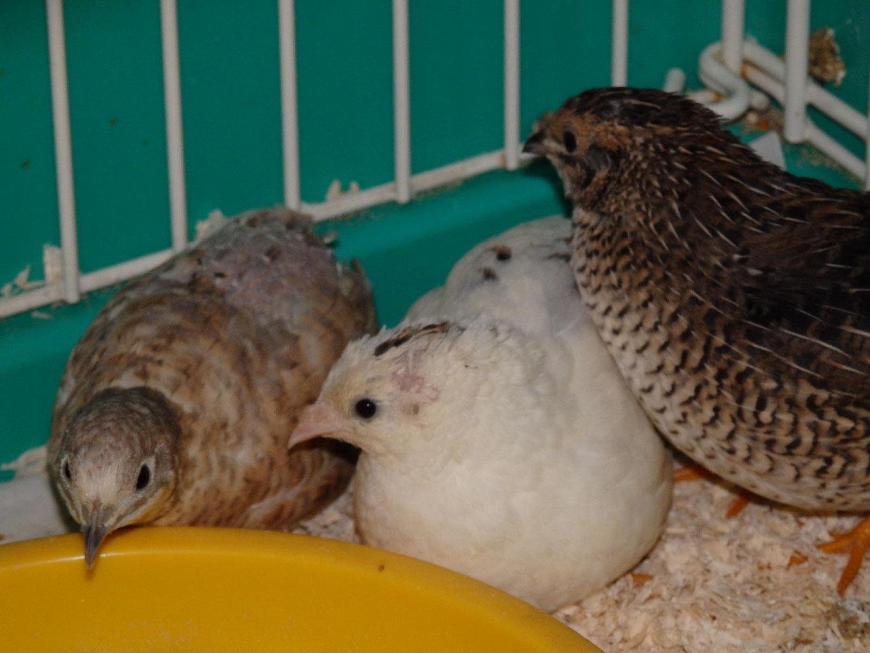 福岡県手乗りインコ小鳥販売店ペットショップミッキン 珍しい体色のヒメウズラが仲間入りしました。