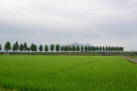 今朝はまだ山頂には雲がかかっていた。                                  ヘッダー写真から2カ月余りで稲はこれだけ成長した。月末には穂を出すだろう。              隣の田んぼはすでに穂を出し始めている。