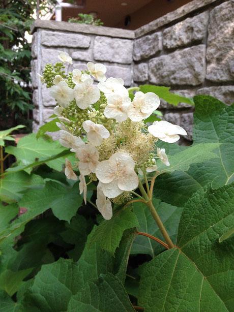 6月末に咲いているお手入れが楽な植物 カシワバアジサイ