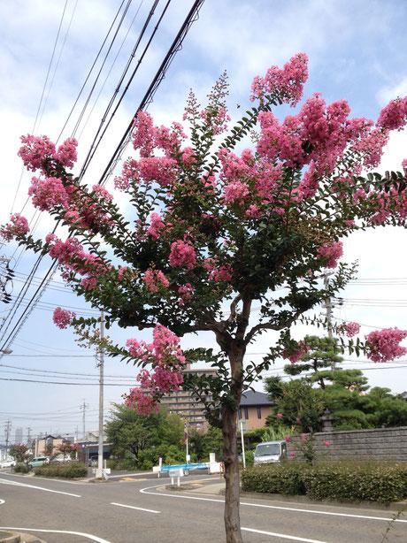 おすすめの植木 落葉樹 サルスベリ