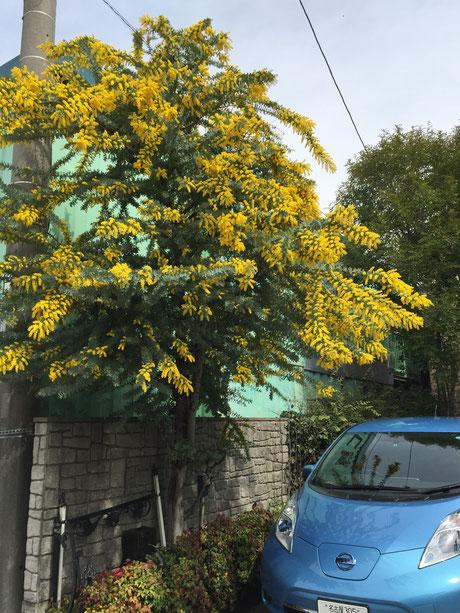 おすすめの植木 常緑樹 ミモザ