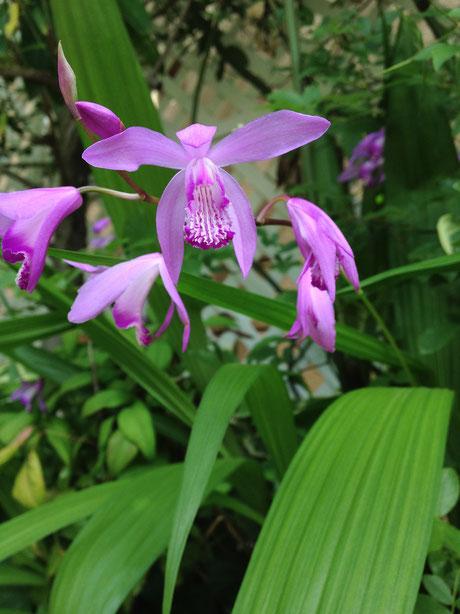 5月末に咲いている お手入れが楽な植物 シラン