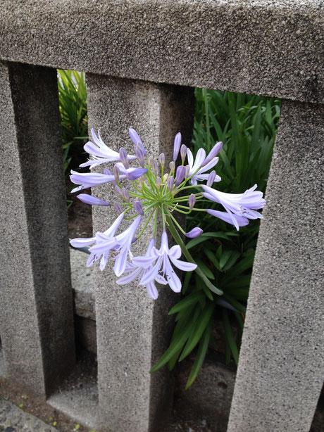 6月末に咲いているお手入れが楽な植物 アガパンサス