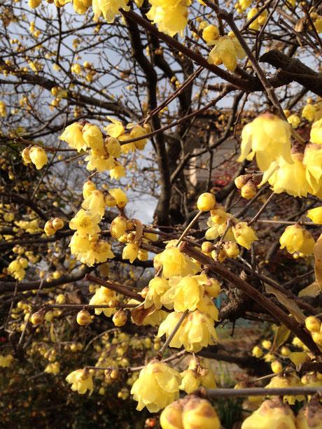 おすすめの植木 落葉樹 ロウバイ 2015年1月17日撮影