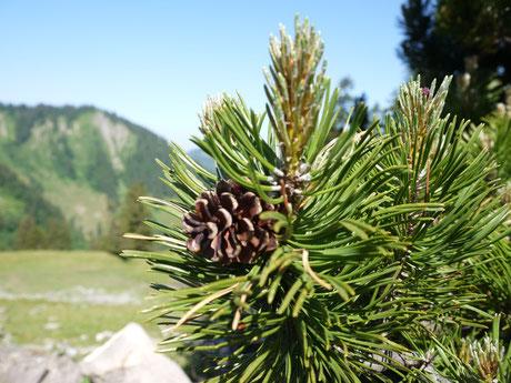Foto | Baum, Pflanze, Latschenkiefer | Dornbirn (A) | Kräutersalz