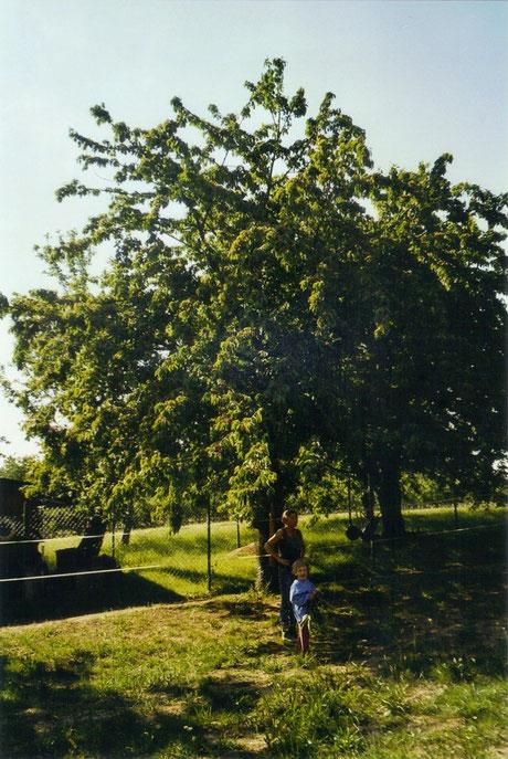 *auf der Koppel unter einem Kirschbaum...