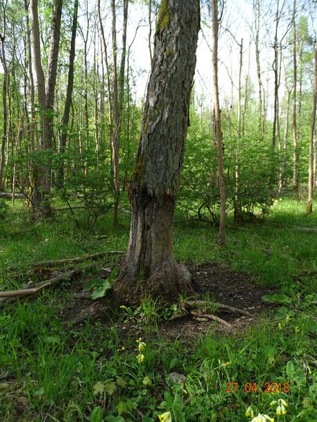 Stark beanspruchter Wildschwein-Scheuerstamm (Malbaum) inmitten eines ehemaligen Großbestandes des Bleichen Knabenkraut