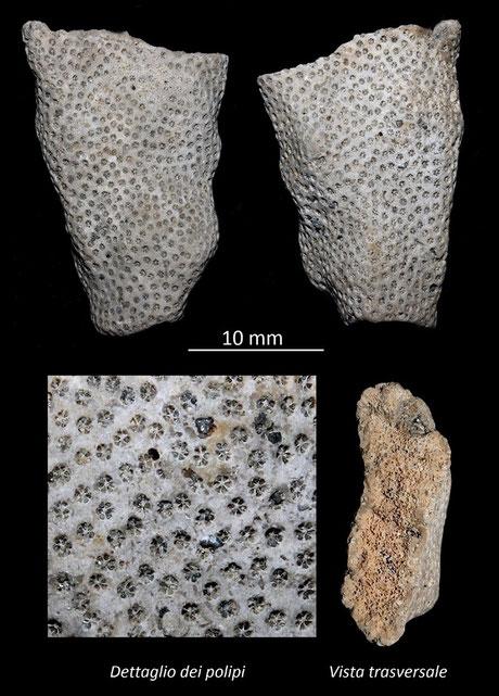 Stylophora, Miocene dell'Aquitania
