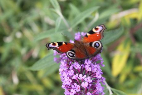 Bild: Schmetterling auf Blume
