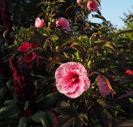 Die winterharten Hibiskus von Gärtnerei Bartels in einem Beet im Küchengarten von Schloss Ippenburg. Hibiscus, staudenhibiskus, gärtnerei-bartels, riesen Blüten, Riesenhibiskus
