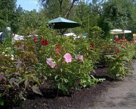 Staudenhibiskus-Gärtnerei Bartels, Delmenhorst-Stauden-Hibiskus-Sommerblüher im Küchengarten von Schloss Ippenburg-Hibiskusblüten-Rohkost-Tee, Riesen-Hibiskus Blüten knackig-frisch & köstlich wie Salat