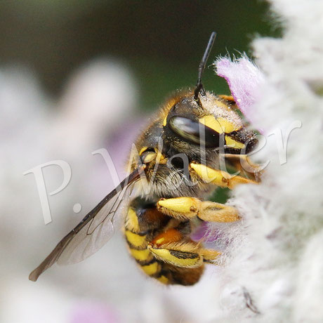Bild: Garten-Wollbiene, Anthidium manicatum