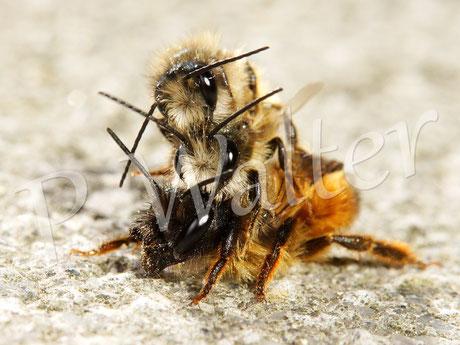 Bild: Rostrote Mauerbiene, Osmia bicornis, Paarung mit Störenfried