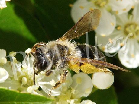 Bild: Wildbiene am Feuerdorn