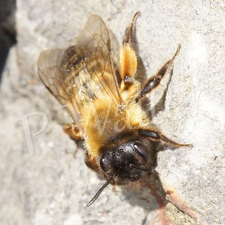 01.05.2016 : eine andere frisch geschlüpfte Sandbienenart