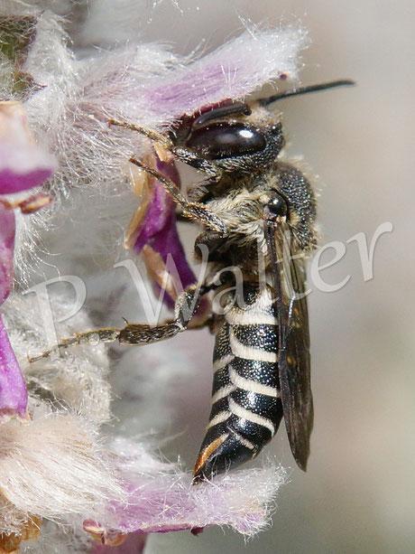 Bild: eine Kegelbiene, Weibchen am Woll-Ziest, Coelioxys ...