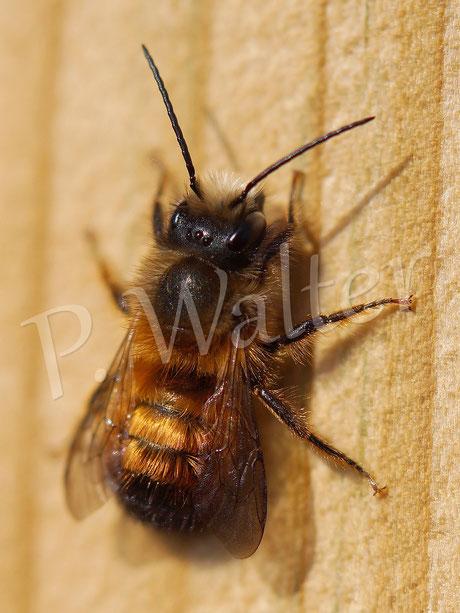 29.03.2014 : Männchen der Rostroten Mauerbiene