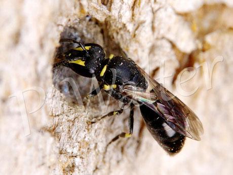 13.09.2014 : Maskenbiene beim Verschließen ihres Nistgangs