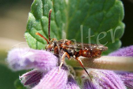16.05.2014 : vielleicht eine Wespenbiene, z.B. Nomada panzeri ??