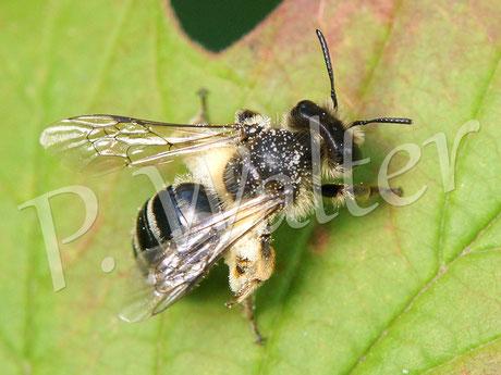 18.07.2015 : eine Wildbiene rastet auf einem Schneeballblatt