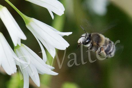 März 2016 : Wildbienenbrummer auf Mallorca, wohl eine Pelzbiene ?