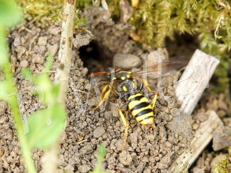 10.05.2016 : Wespenbiene vor einem der Eingänge der Rotbürstigen Sandbienen