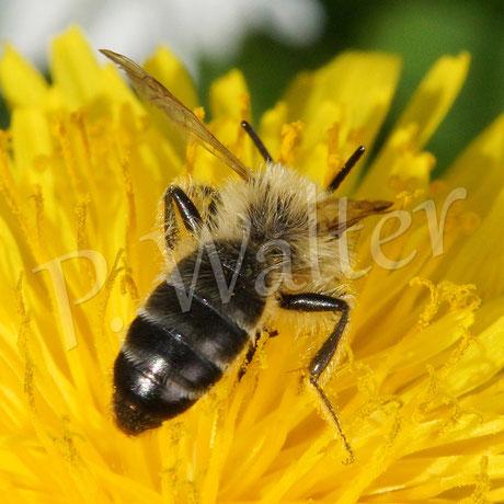 21.04.2016 : Wildbiene am Löwenzahn, vielleicht ein Furchbienenmännchen ??