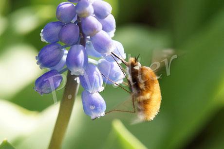 24.03.2014 : Wollschweber, keine Wildbiene, sondern einer ihrer Parasiten
