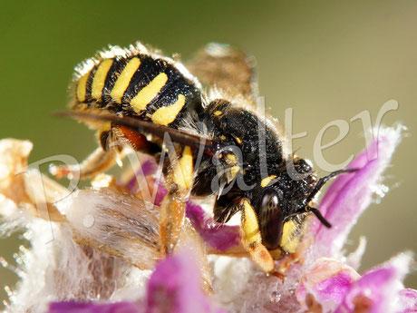 Bild: Garten-Wollbiene nach dem Regen am Woll-Ziest