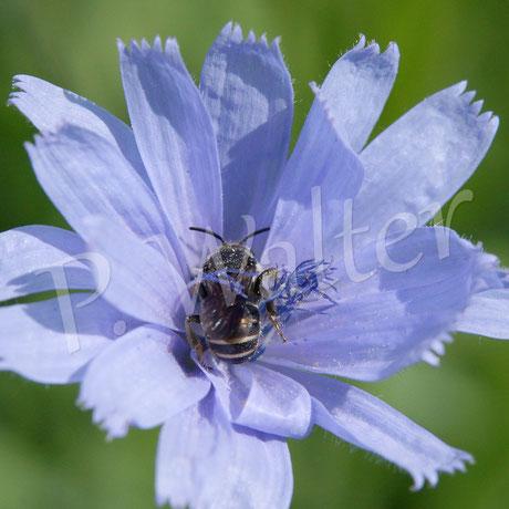 01.08.2015 : Wildbiene an Wegwartenblüte