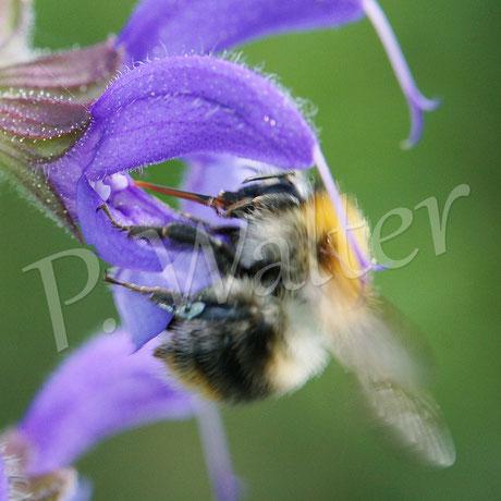 25.05.2014 : An der nächsten Blüte kommt der lange Stempel mit den Pollen in Kontakt, die zuvor auf den Rücken der Hummel gelandet sind ...