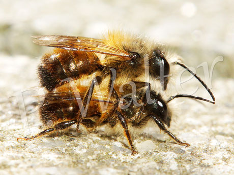 Bild: Rostrote Mauerbiene, Osmia bicornis, zwei Männchen