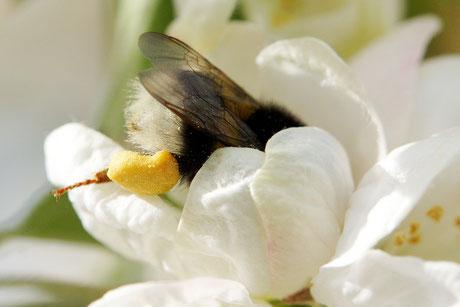 01.05.2015 : Erdhummel (Bombus terrestris) an Zierapfelblüte
