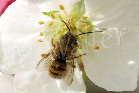 Bild: Wildbiene auf der Zierapfelblüte