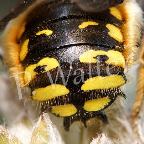 31.07.2015 : Wollbienenhinterteil mit dem typischen Dreizack des Männchens