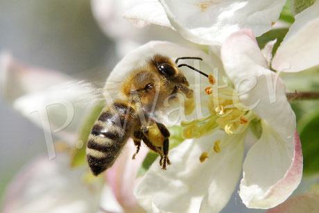 Bild: Honigbiene kurz vor der Landung auf einer Zierapfelblüte
