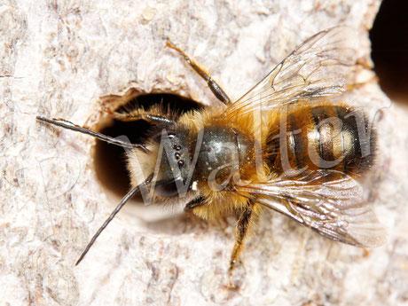 Männchen der Rostroten Mauerbiene, Osmia bicornis