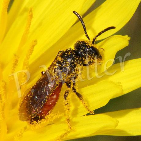 01.05.2016 : eine Blutbiene im Löwenzahn