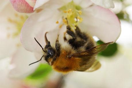 01.05.2015 : weitere Hummel an einer der Zierapfelblüten