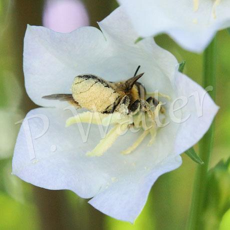 Bild: Blattschneiderbiene, Megachile, Glockenblumenblüte