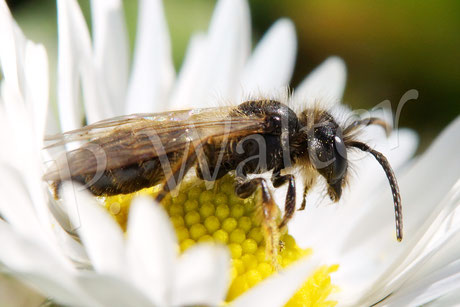 06.04.2015 : weitere Wildbiene / Sandbiene (?) weniger behaart