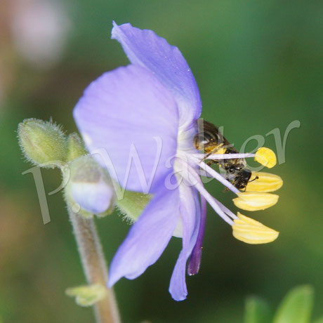 BIld: eine Furchenbiene an der Jakobsleiter