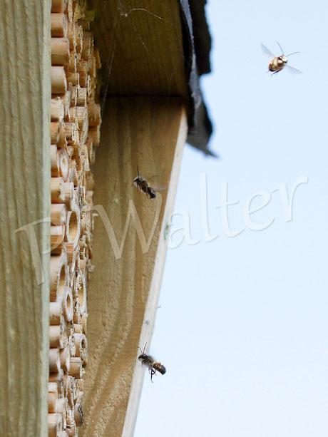 02.04.2014 : Rostrote Mauerbienen _ Männchen auf Patrouille
