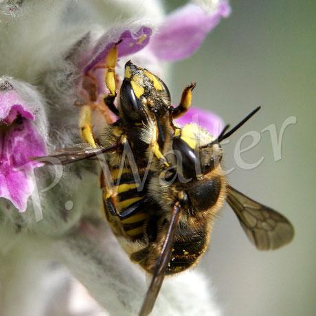 07.06.2014 : Wollbienenpaarung am Woll-Ziest, wo sonst ?!